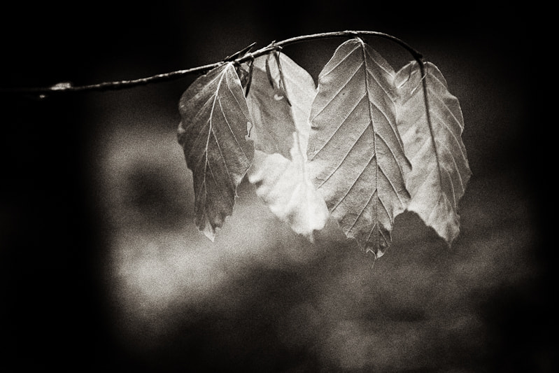 Photograph Beech leaves by Noel Kelly on 500px