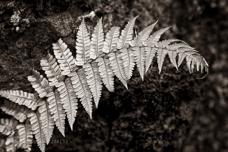 Photograph Fern by Noel Kelly on 500px