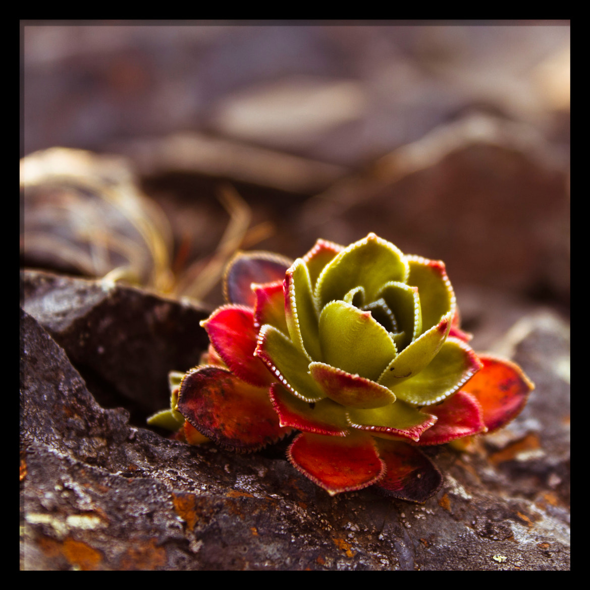 Photograph Saxifraga cetyledon L by Torfi Matthíasson on 500px