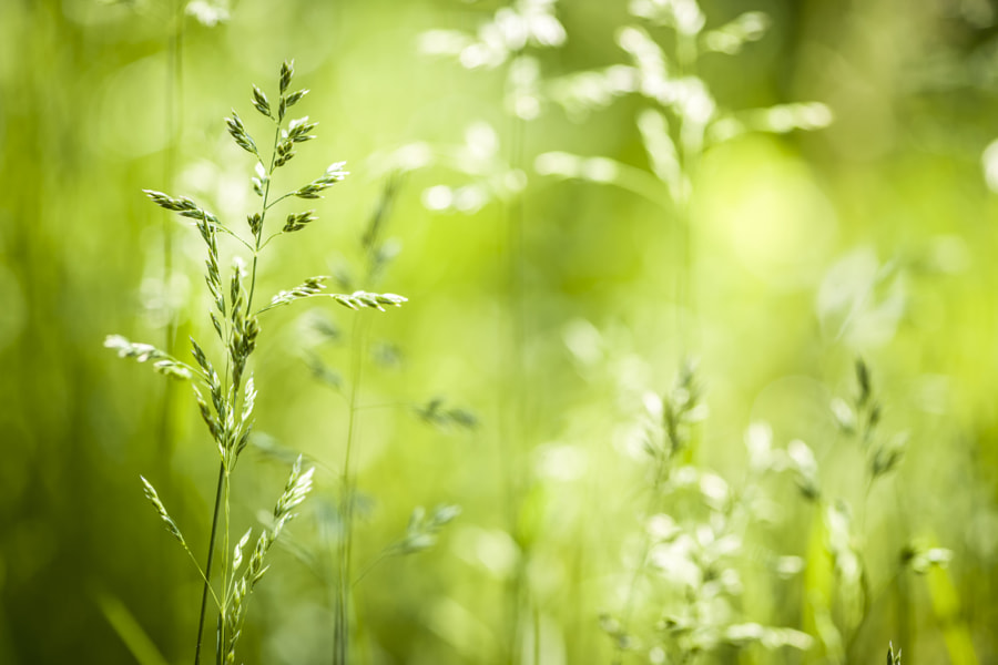 Photograph June green grass flowering by Elena Elisseeva on 500px