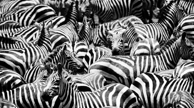 Photograph Zebra herd by Richard Arnold on 500px