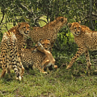 ������, ������: The Cheetah Kill