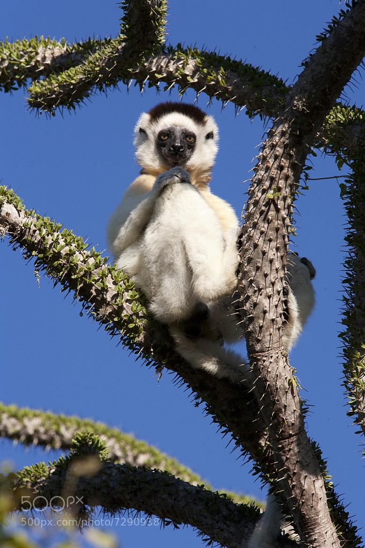 Photograph Verreauxs Sifaka Lemur, Madagascar by Steve Shuey on 500px