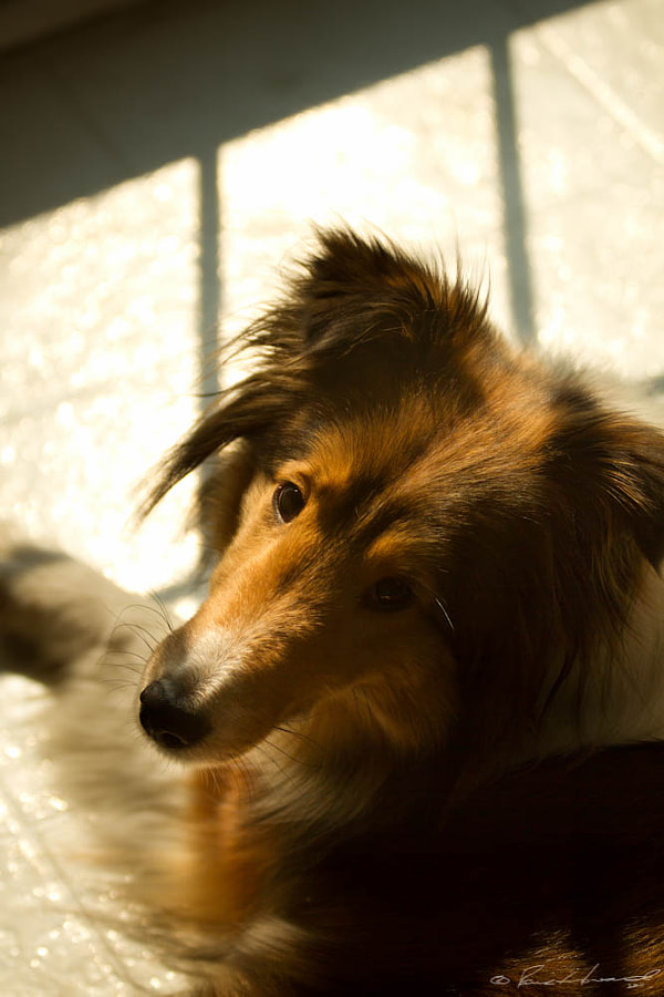 Our sheltie, Sadie, wasn\'t going to move just so that I could get a shot of a shadow. Probably better that way.