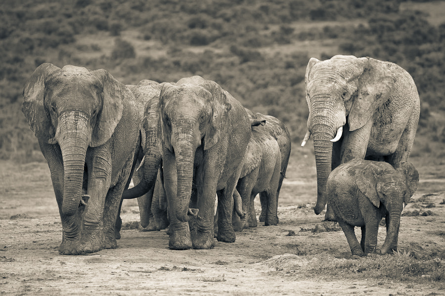 Photograph Addo Herd by Mario Moreno on 500px