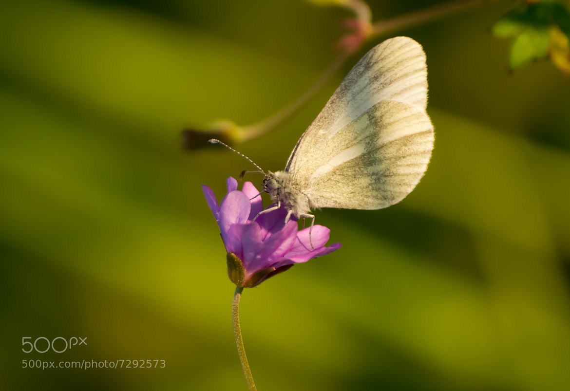 Photograph Papillon 1 by Charles DELEPINE on 500px