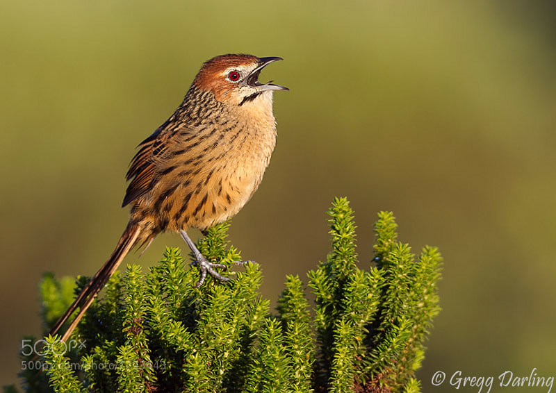 Photograph Cape Grassbird by Gregg Darling on 500px
