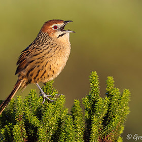 Cape Grassbird by Gregg Darling (greggdarling)) on 500px.com