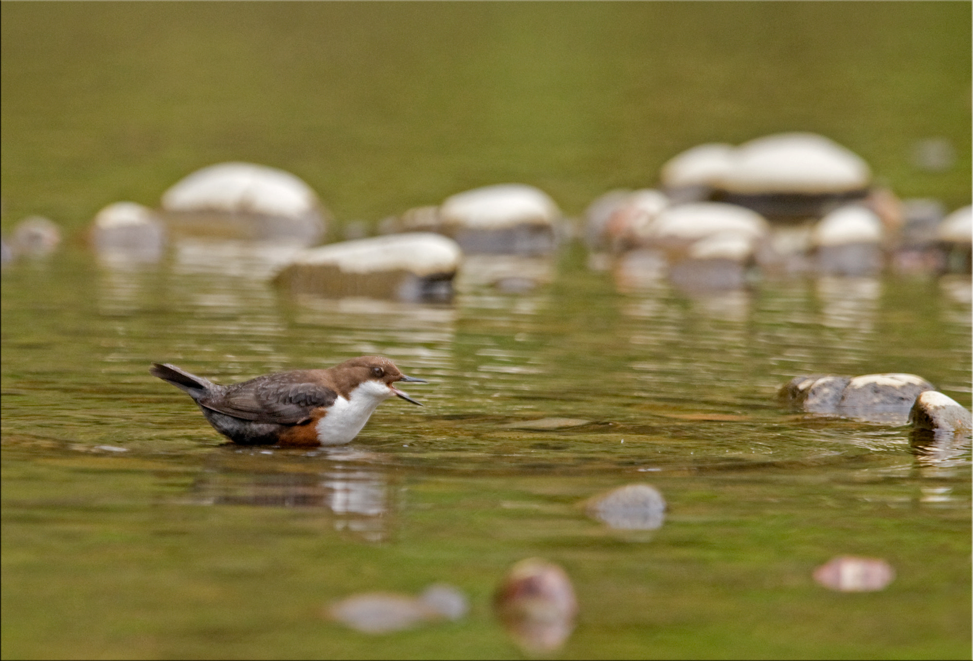Photograph Dipper by Ina Turner on 500px