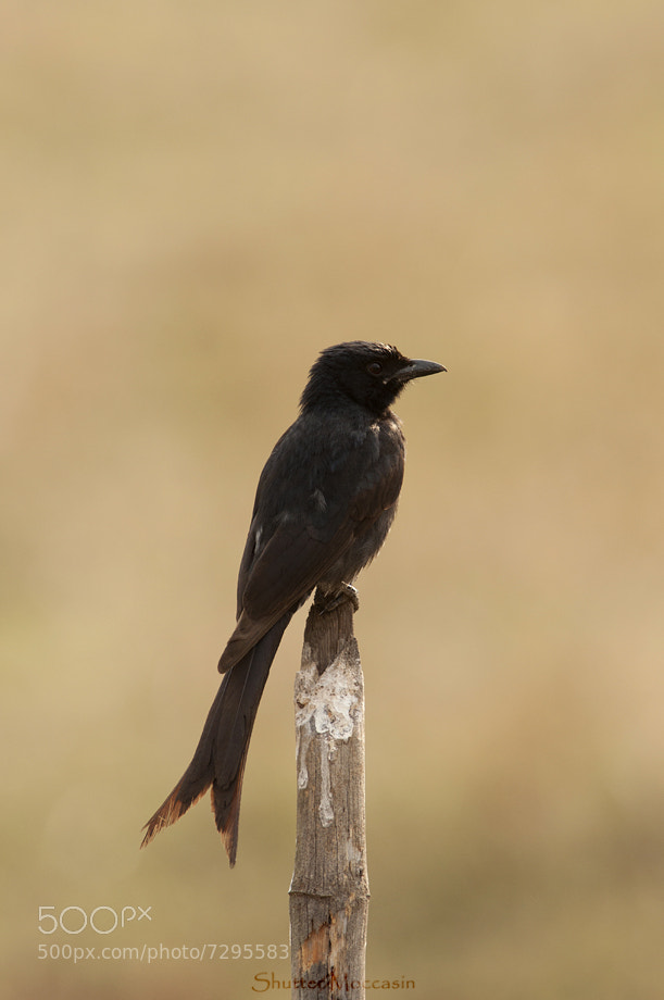 Photograph Black Drongo by Nishant Shah on 500px