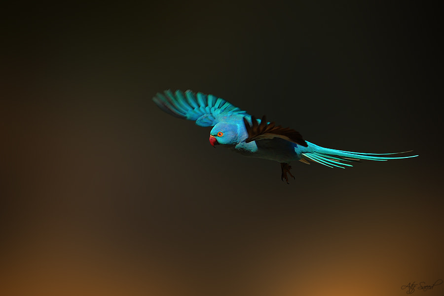Photograph  Rose-ringed Parakeet-blue mutation  by Atif Saeed on 500px