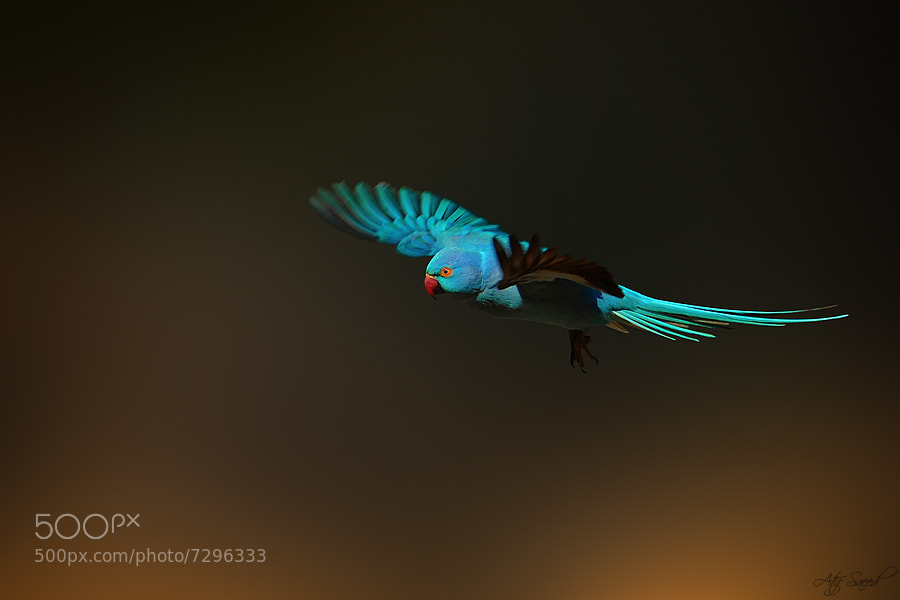 Photograph  Rose-ringed Parakeet-blue mutation  by Atif Saeed on 500px