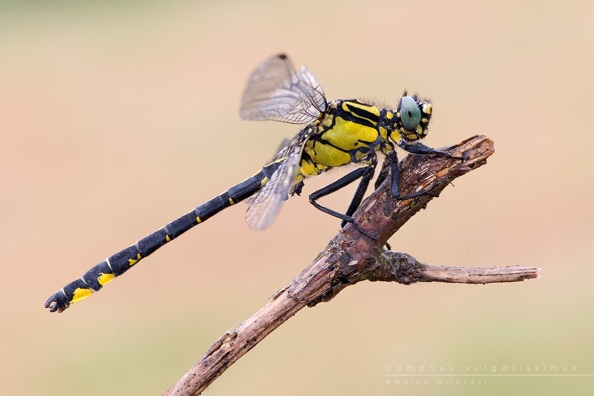 Photograph Gomphus vulgatissimus by Marco Milanesi on 500px