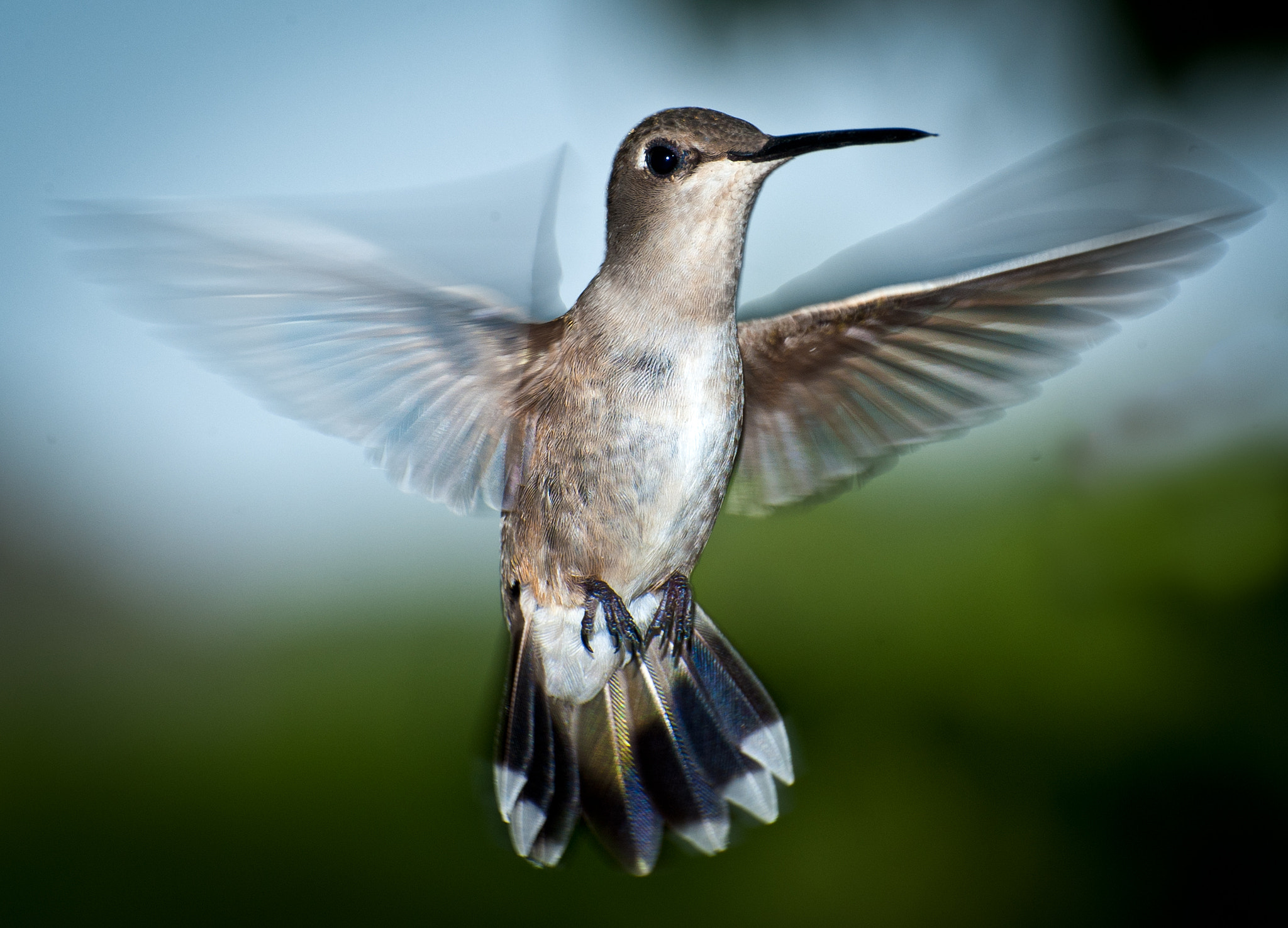 Photograph Black Chinned Hummingbird by Dave Wilson on 500px
