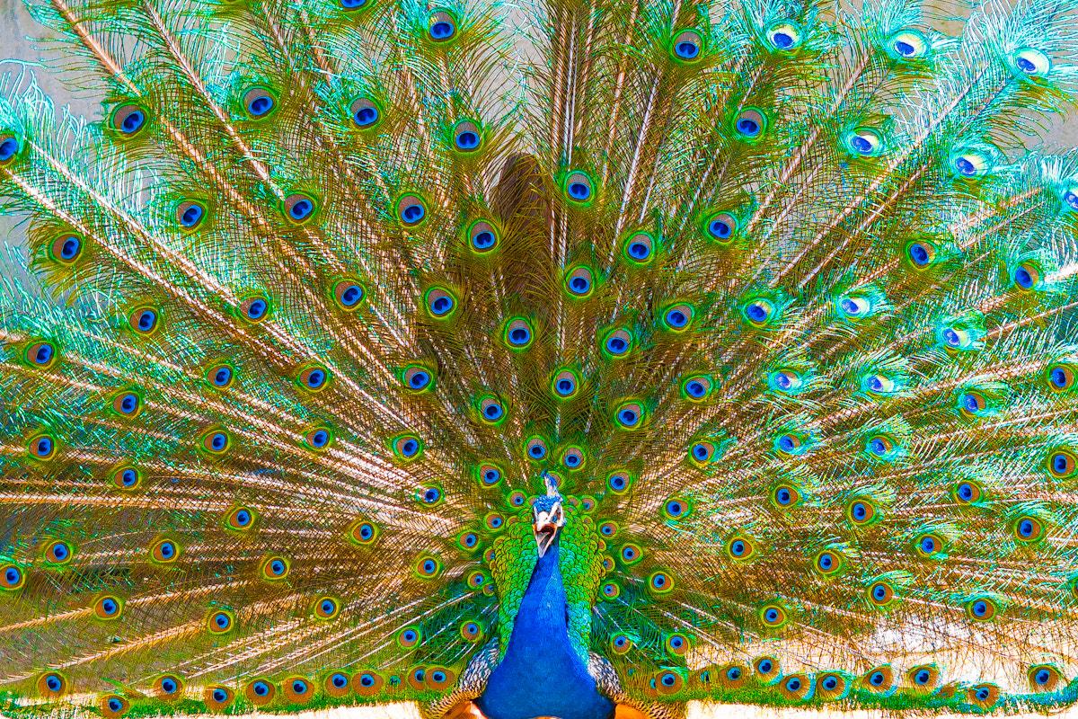 Photograph Peacock by Paulo Bruckmann on 500px