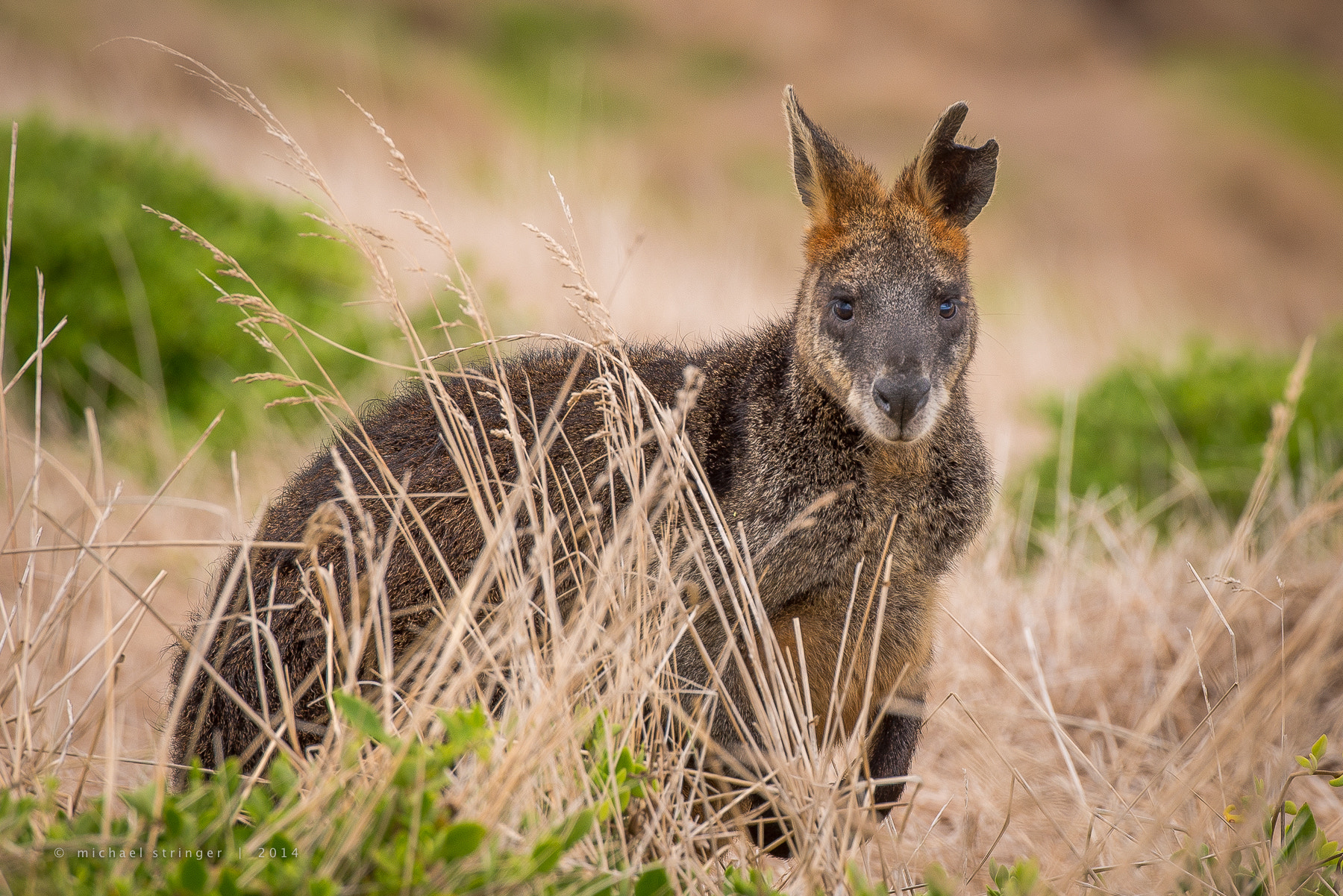Photograph Black Wallaby by Michael Stringer on 500px