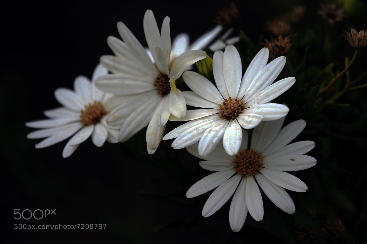 Photograph Daisies and daisies by Cristobal Garciaferro Rubio on 500px