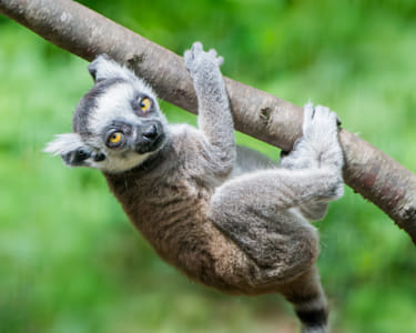 Baby Ring-Tailed Lemur III by Janet Weldon on 500px