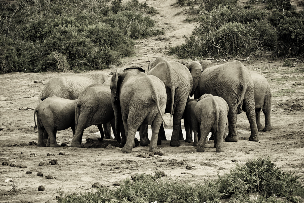 Photograph Addo Elephants by Gary  Murray on 500px