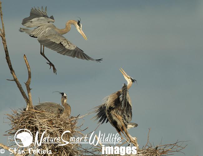 Photograph Great Blue Heron flighting in air by Stan Tekiela on 500px