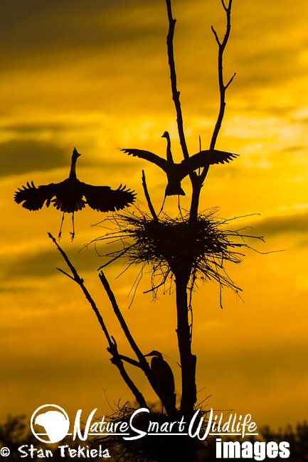 Photograph Great Blue Heron nesting sunset by Stan Tekiela on 500px