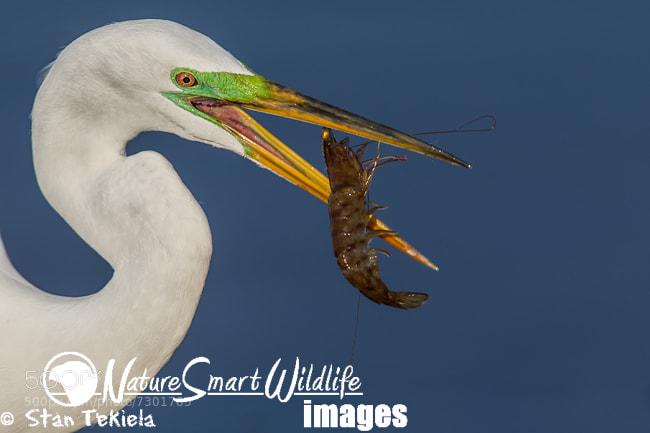 Photograph Great Egret  by Stan Tekiela on 500px