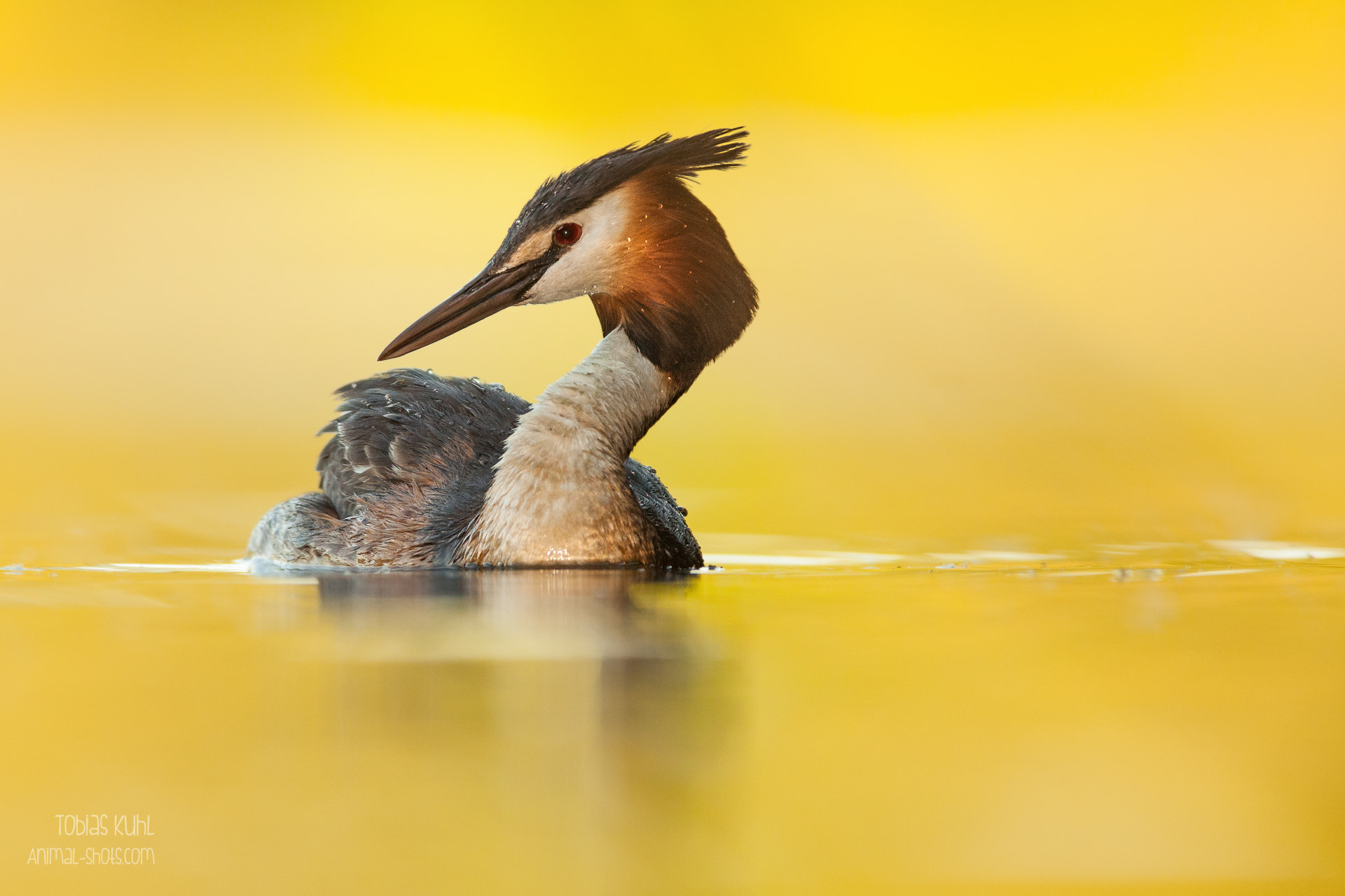 Photograph Eye to eye with a grebe by Tobias Kuhl on 500px