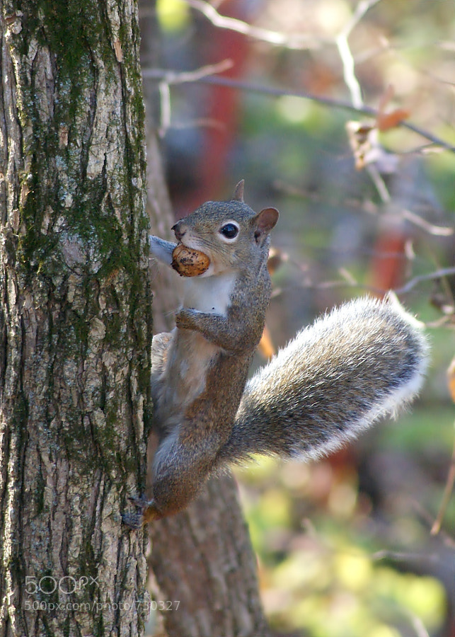 This Gray Squirrel was way too busy to pay any attention to me taking its portrait.