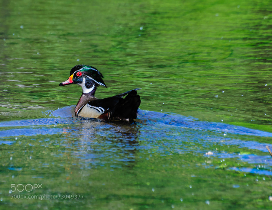 One of my favorite ducks, very shy and elusive, so when I get one I am pleased.