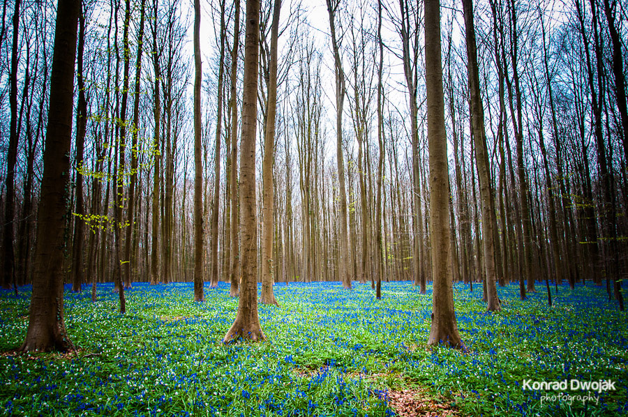 Photograph Bluebells of Hallerbos, Belgium 2012 by Konrad Dwojak on 500px