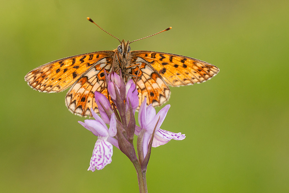 Photograph Silver bordered fritillary by Tom  Kruissink on 500px