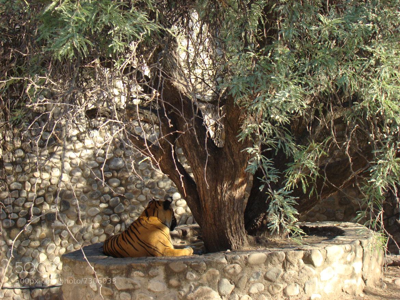 Photograph Tigre bajo el arbol by Ariel Marcel on 500px