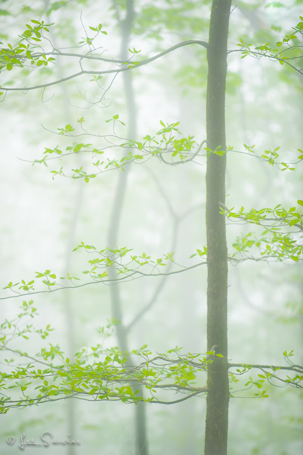 Photograph Foggy Spring by Les Saucier on 500px