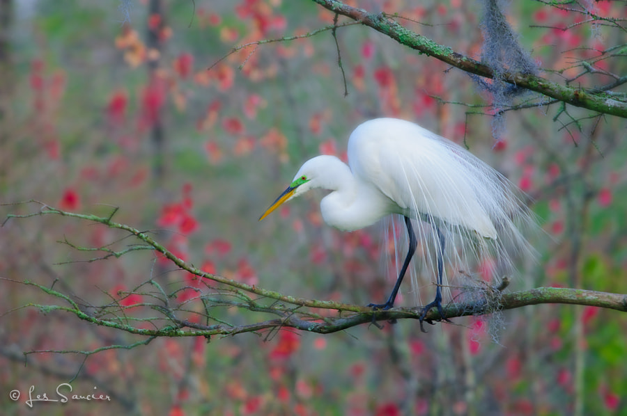 Photograph Great Egret in swamp by Les Saucier on 500px