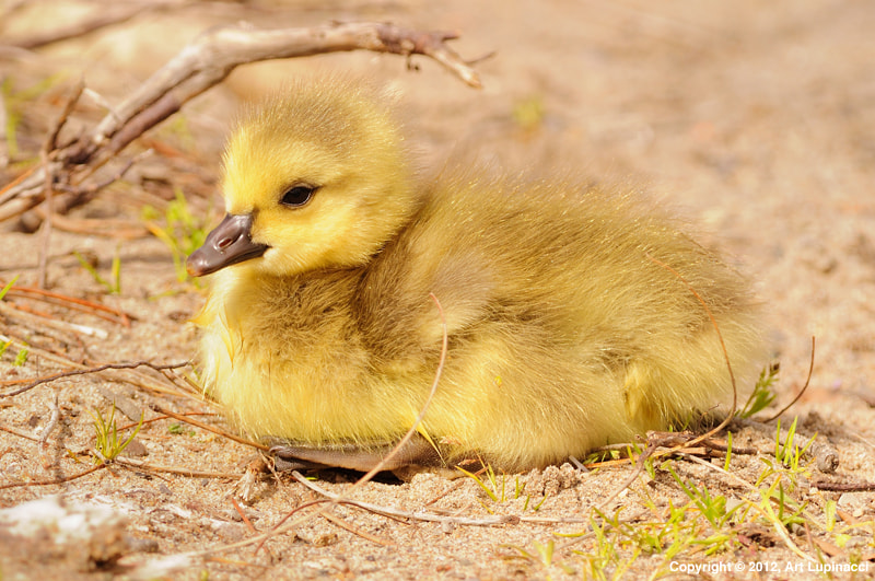 Photograph Gosling by Art Lupinacci on 500px