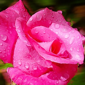 Rosas despues de la lluvia by Lola Camacho (lolinac)) on 500px.com