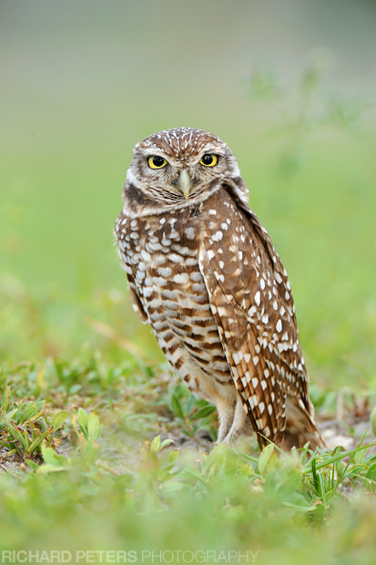 Photograph Burrowing Owl portrait by Richard Peters on 500px