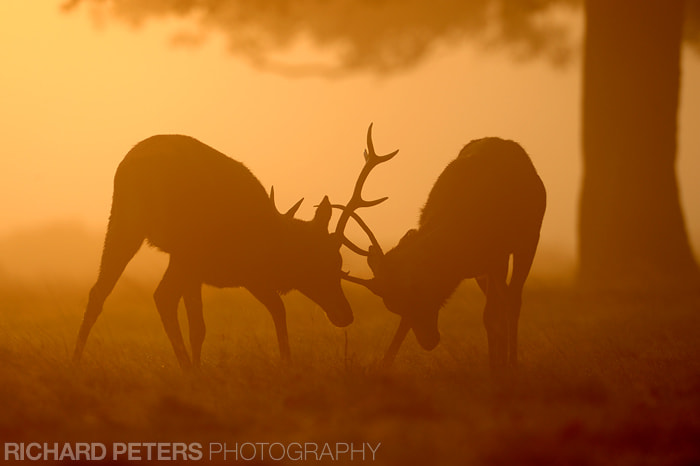 Photograph Deer Rut by Richard Peters on 500px