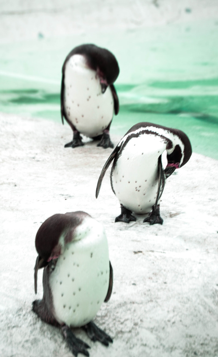 Photograph penguins by Rachel Browning on 500px