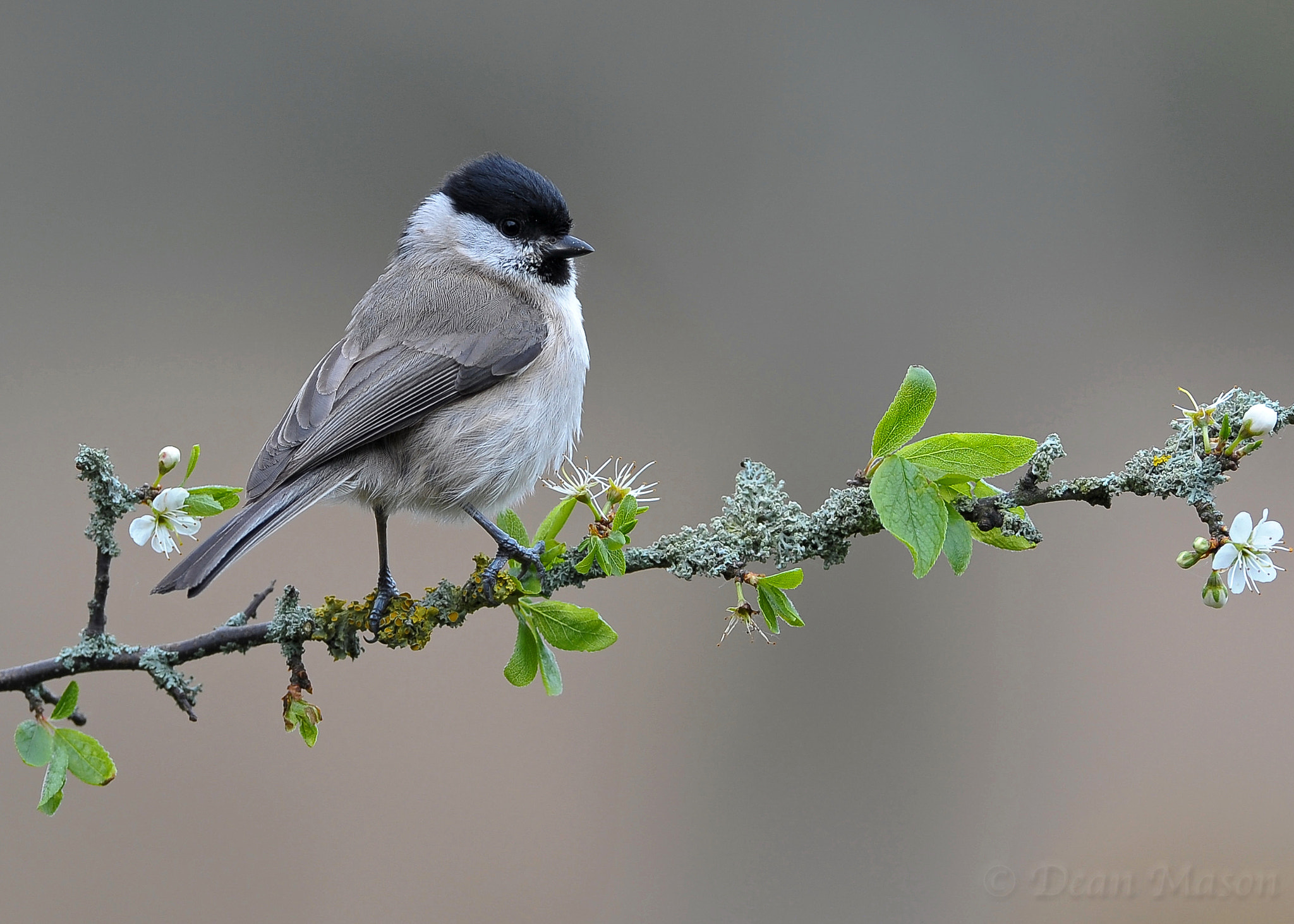 Photograph Marsh Tit by Dean Mason on 500px