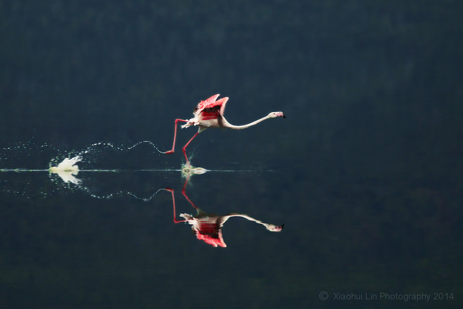 flamingo by Xiaohui  Lin on 500px.com