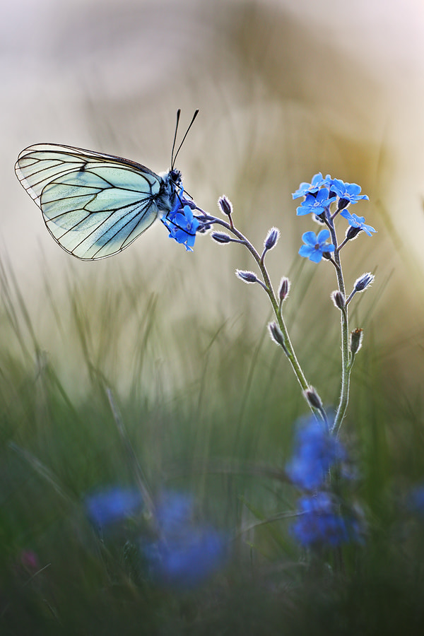 Photograph Black-veined White by Christian Rey on 500px