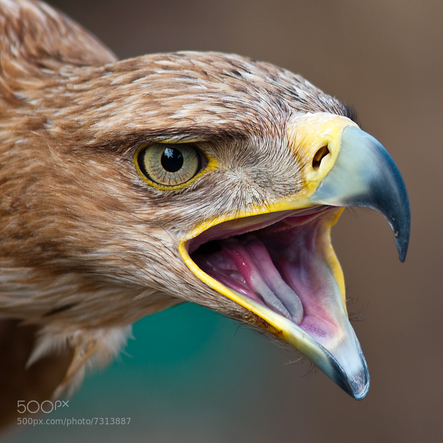 Photograph Angry golden eagle by Jonatan Hernández Sánchez on 500px