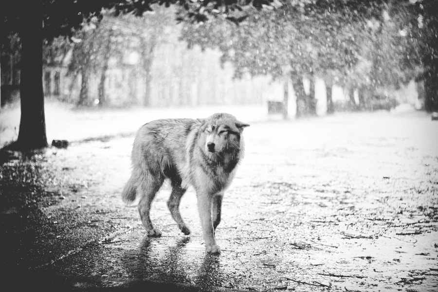 wolf in abandoned city by Jan Wolanski on 500px.com