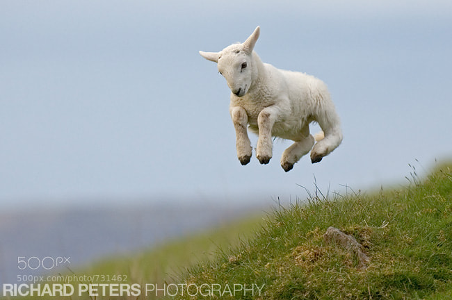 Photograph Spring Lamb by Richard Peters on 500px