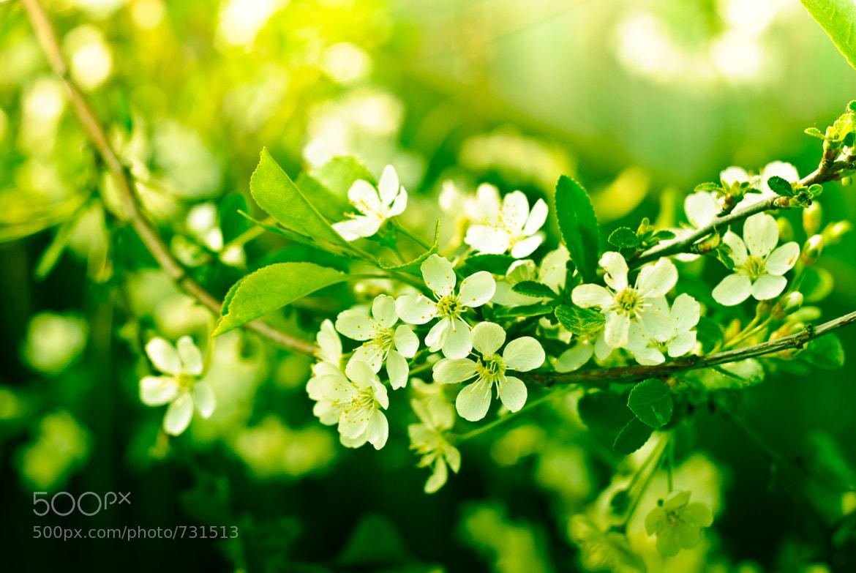Photograph Cherry flowering by grigoriy kostаrev on 500px