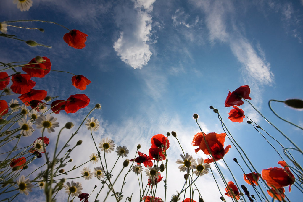 Photograph Poppy time by Berczelly Andras on 500px