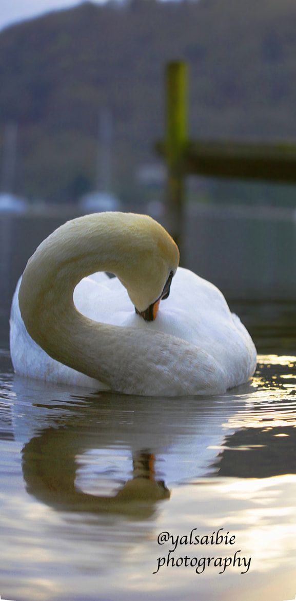 Photograph Swan by Yousef Alsaibie on 500px