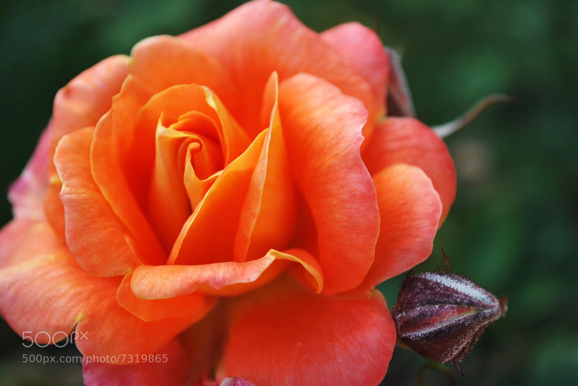 Photograph Peach, Orange and Pink Rose by Lynn Scanlan on 500px