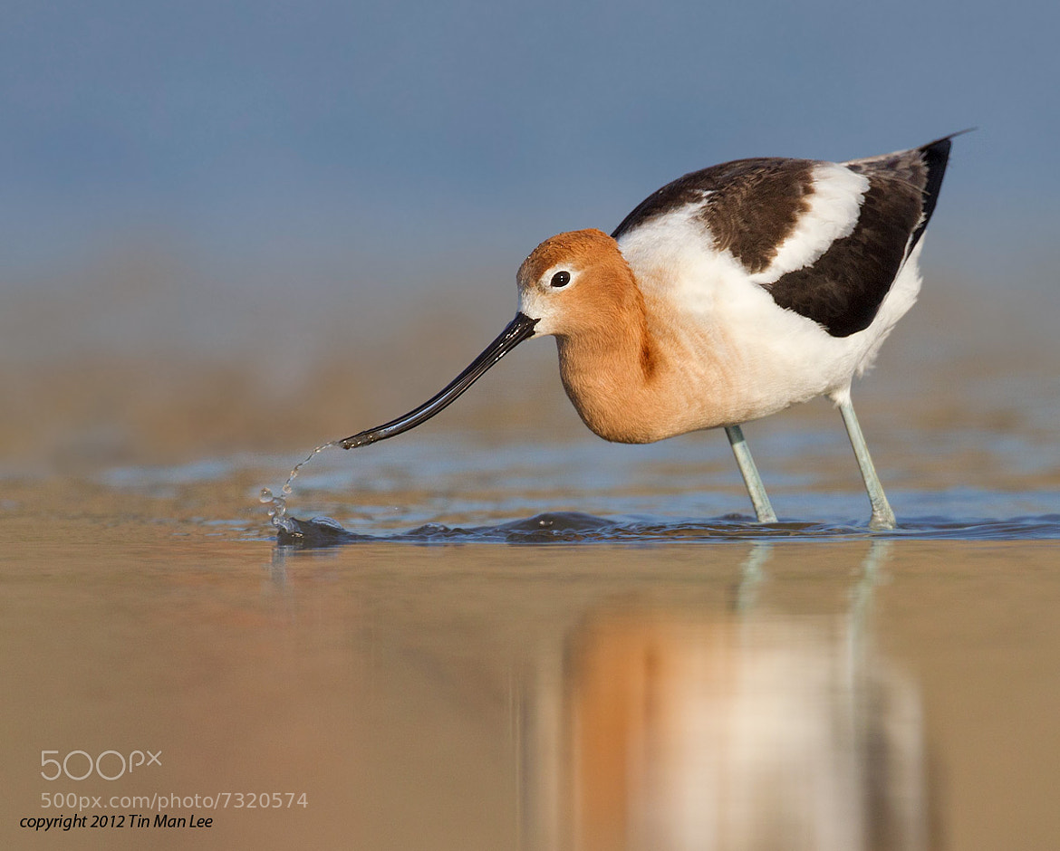 Photograph American Avocet Looking for Food by Tin Man on 500px
